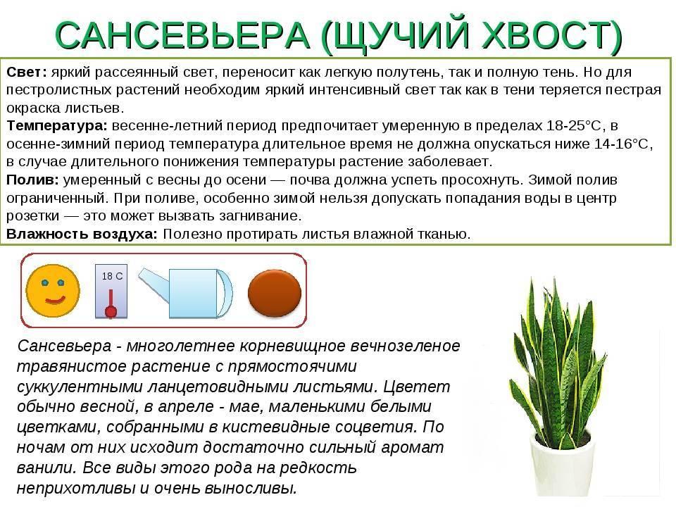 Варианты выращивания и ухода за цветком рео: основные сорта и способы размножения