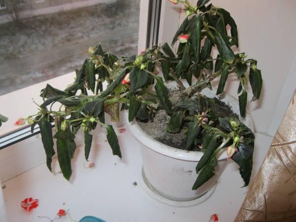 Болезни бальзамина (19 фото): причины недугов цветка «ванька мокрый» и их лечение. как бороться с паутинным клещом, тлей и другими вредителями?