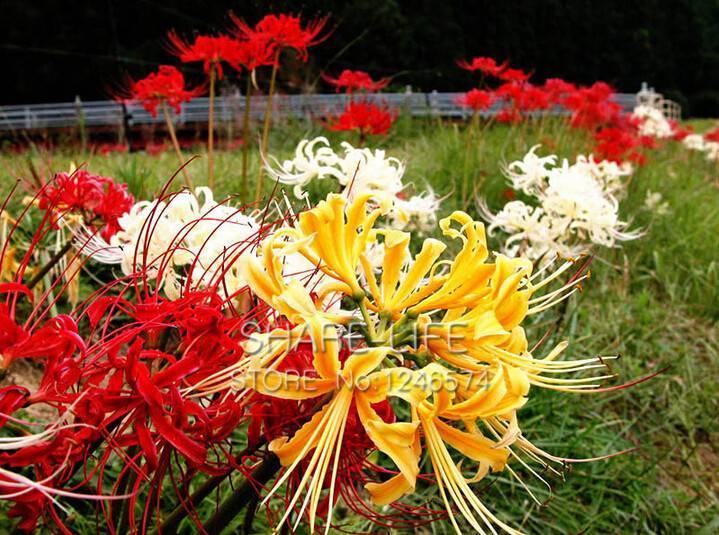 Все о видах ликорисов: лучистый и чешуйчатый — выращивание и уход за цветами