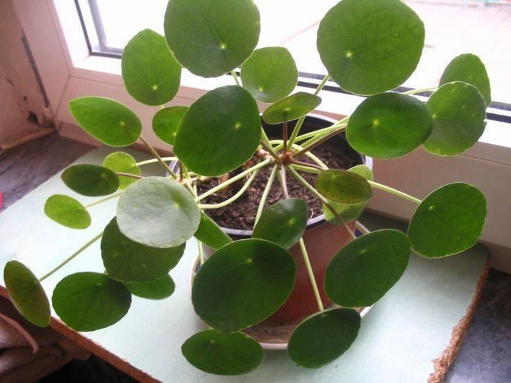 Уход, размножение и содержание растения «пилея» в домашних условиях
