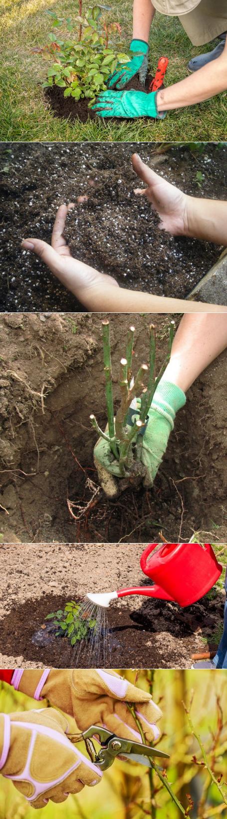 Розы чайно-гибридные: посадка и уход в открытом грунте для новичков