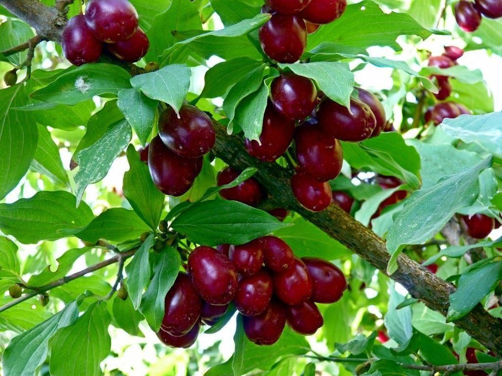 способность делать плодовые деревья сочи фото с названиями был