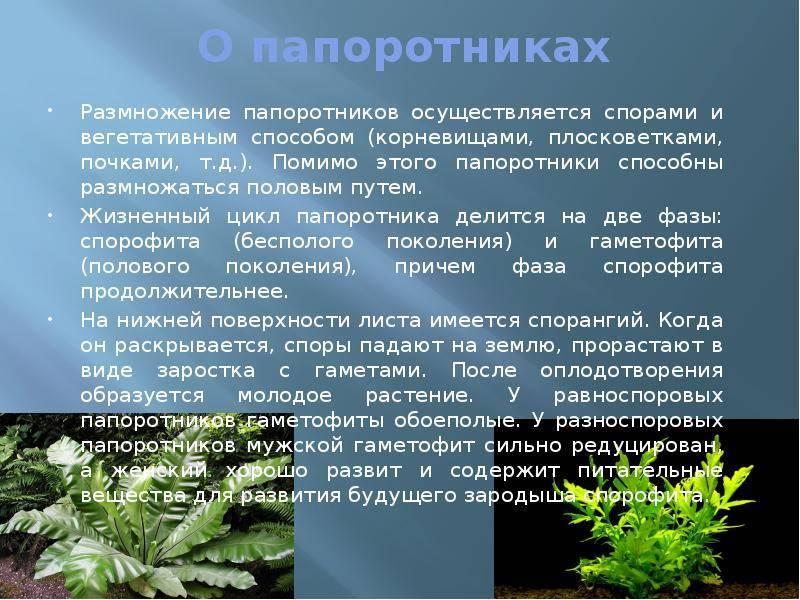Всё про выращивание папоротника комнатного: как ухаживать в квартире, выбор почвы