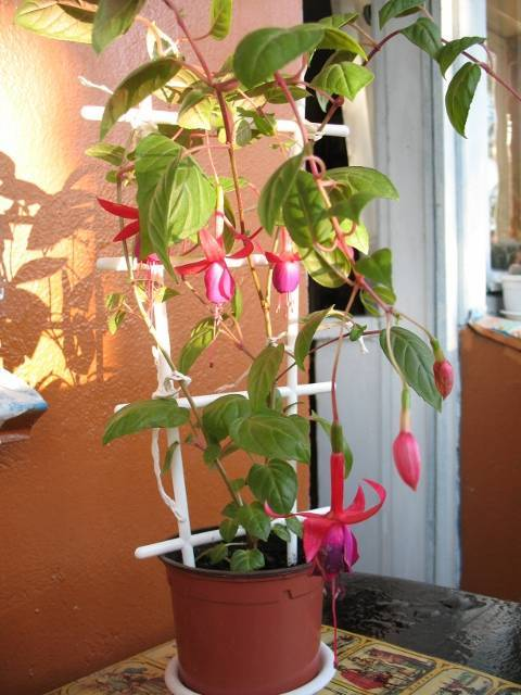 Фуксия — выращивание и уход в домашних условиях, размножение в саду ?