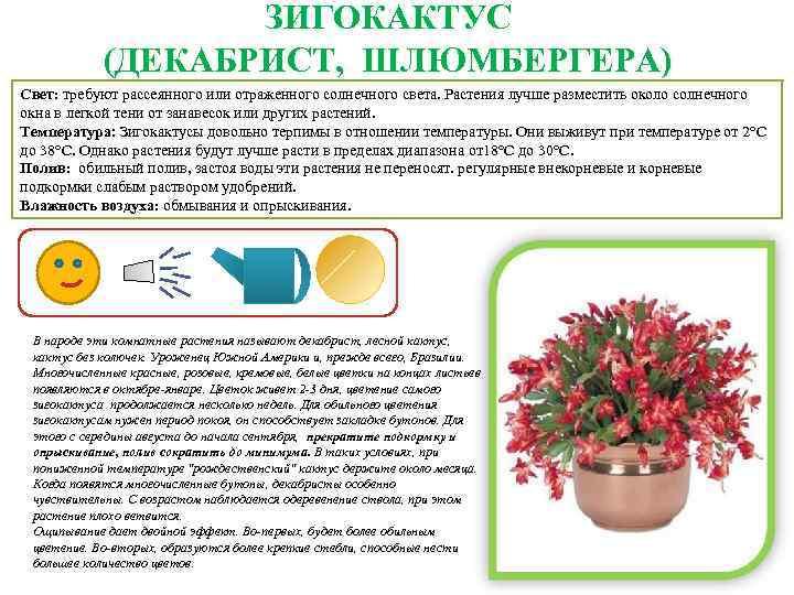 Выращивание цикламена из семян в домашних условиях