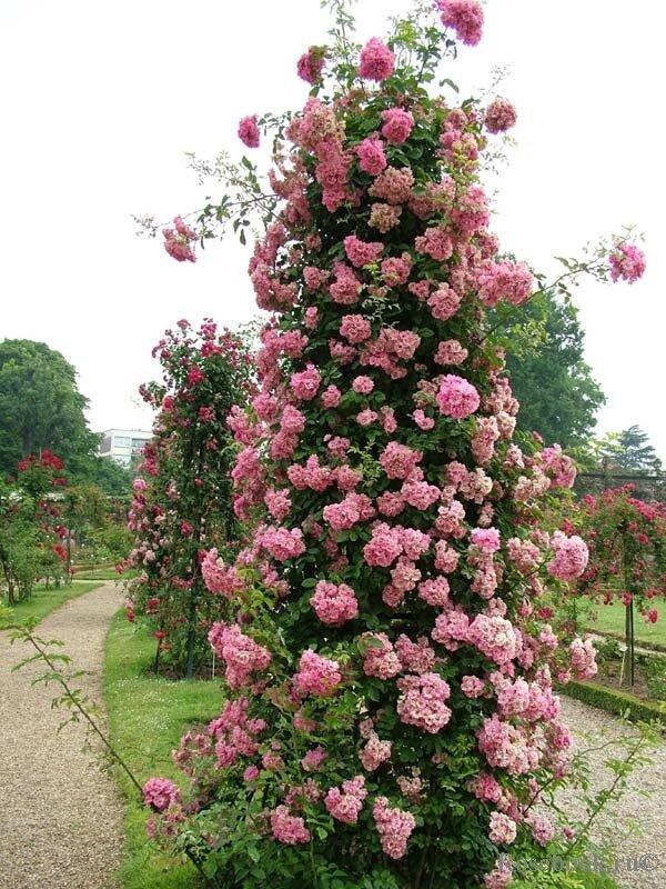 Роза Маритим (Maritim) — характеристики и особенности