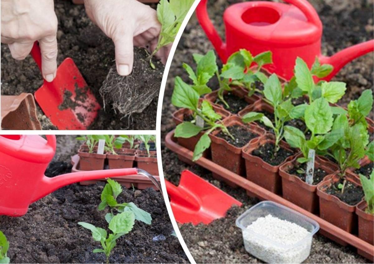 Циния: посадка и уход, выращивание из семян