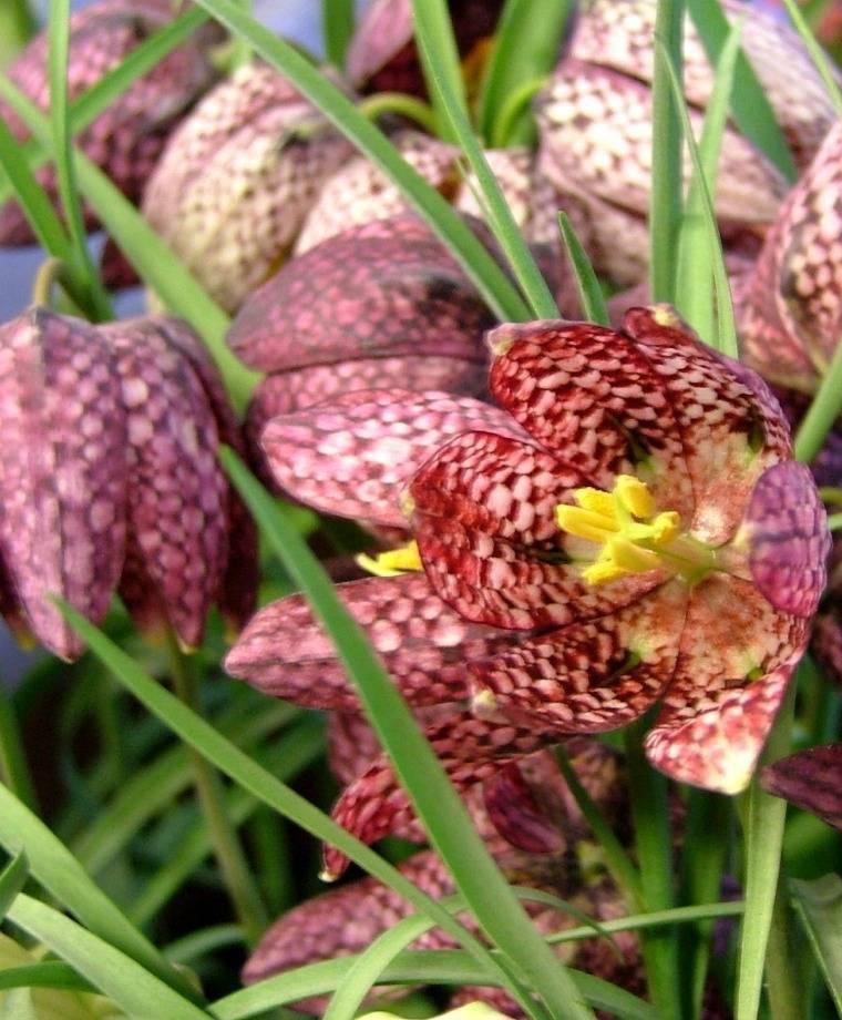 Что такое рябчик: описание цветков, как правильно сажать и ухаживать
