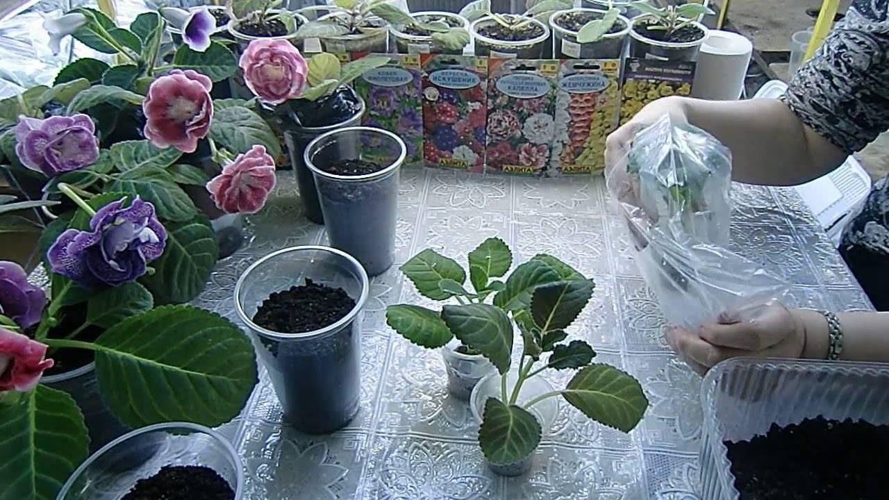 Фиалка душистая (25 фото): описание сортов «царская» и konigin charlotte, «альба» и «маленькая фея», «царь» и viola odorata. выращивание садовой многолетней фиалки из семян и уход за ней