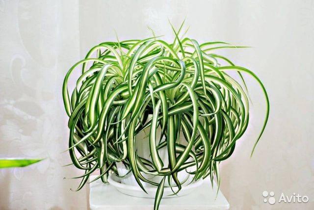 Хлорофитум — виды Грин Оранж, крылатый, зеленый, Лаксум