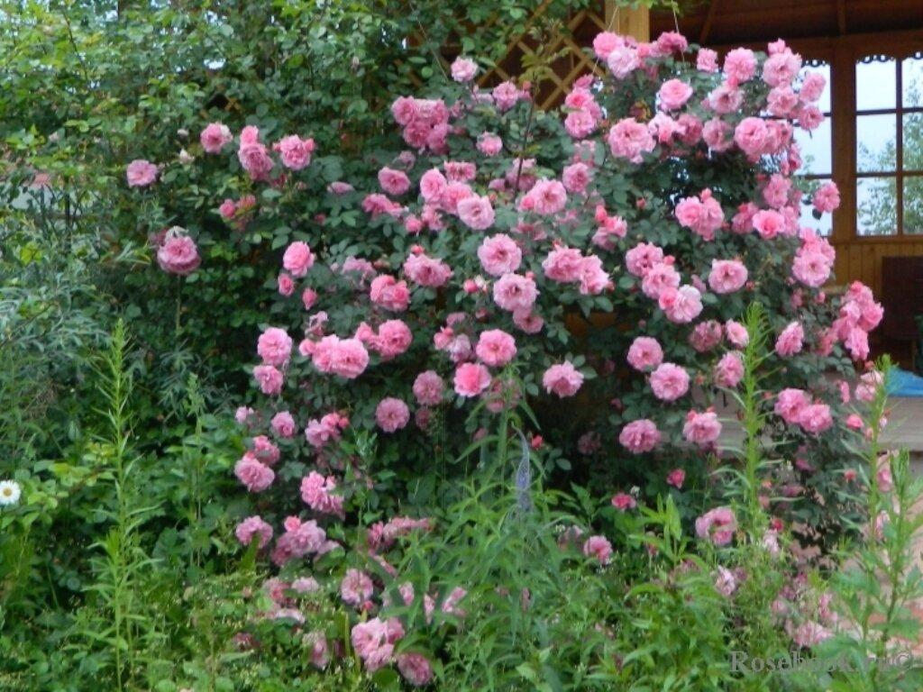 Роза Мартин Фробишер (Martin Frobisher) — описание сорта