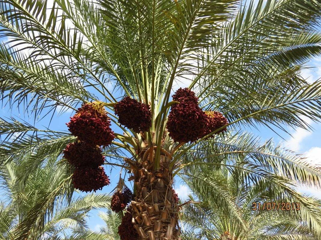Финиковая пальма: как вырастить из косточки финик в домашних условиях правильно, уход за пальмой, фото