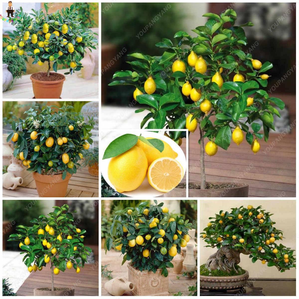 Лимон пандероза: описание сорта и уход в домашних условиях