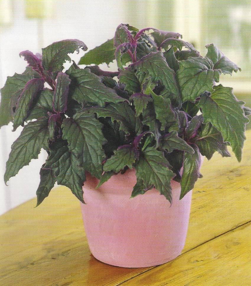 Комнатный цветок гинура: фото, уход за растением в домашних условиях и его размножение