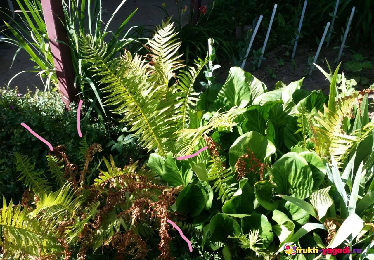 Папоротник садовый: фото, посадка и уход в открытом грунте