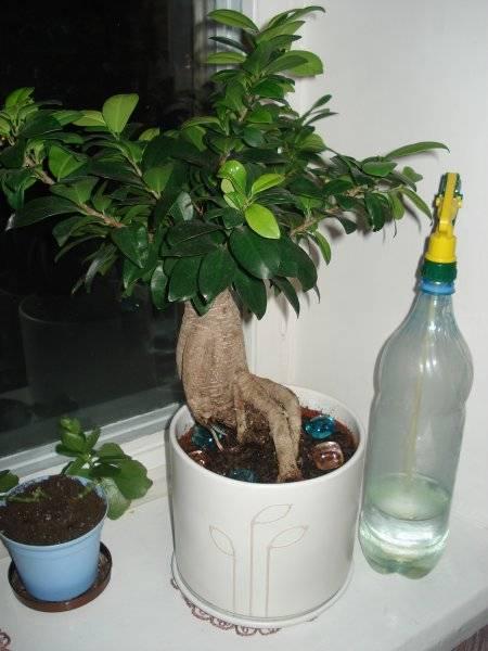 Как посадить фикус?