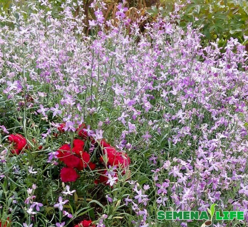Маттиола двурогая (40 фото): выращивание из семян. когда сажать цветы? «летний вечер» и другие сорта. как собрать семена? посадка и уход