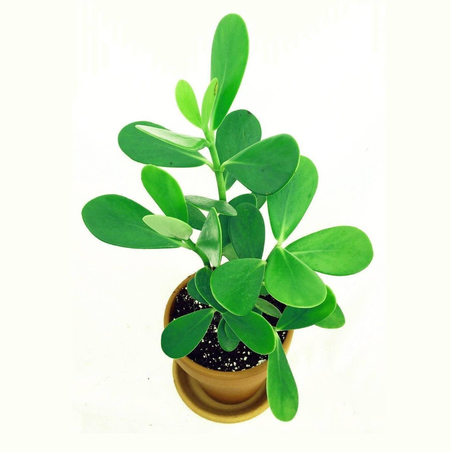 Правила посадки и ухода за цветком клузией в домашних условиях: как посадить, размножать