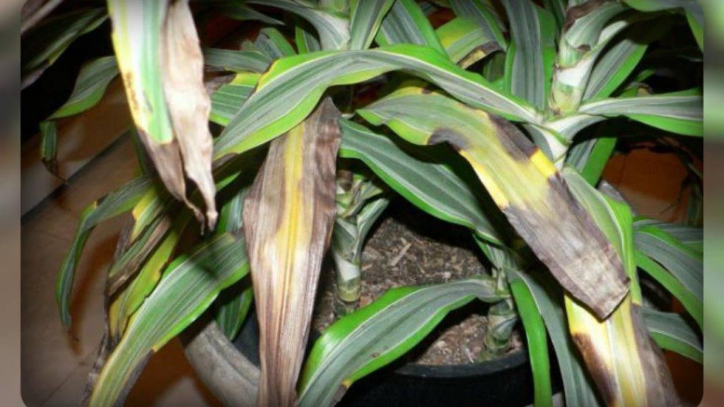 Желтеет юкка: что делать, если у юкки сохнут и опадают листья? почему это происходит с нижними листьями?