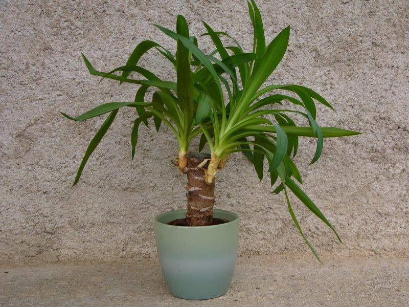 Юкка: уход в домашних условиях и способы размножения растения