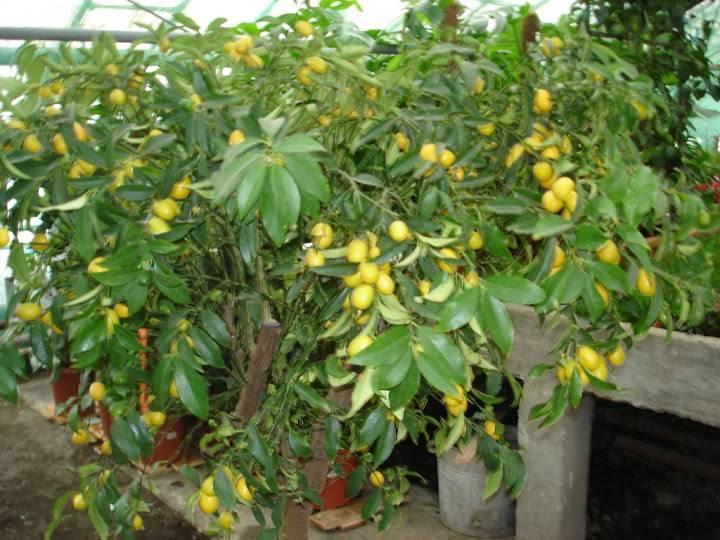 Фейхоа: выращивание из косточек и полезные свойства фрукта