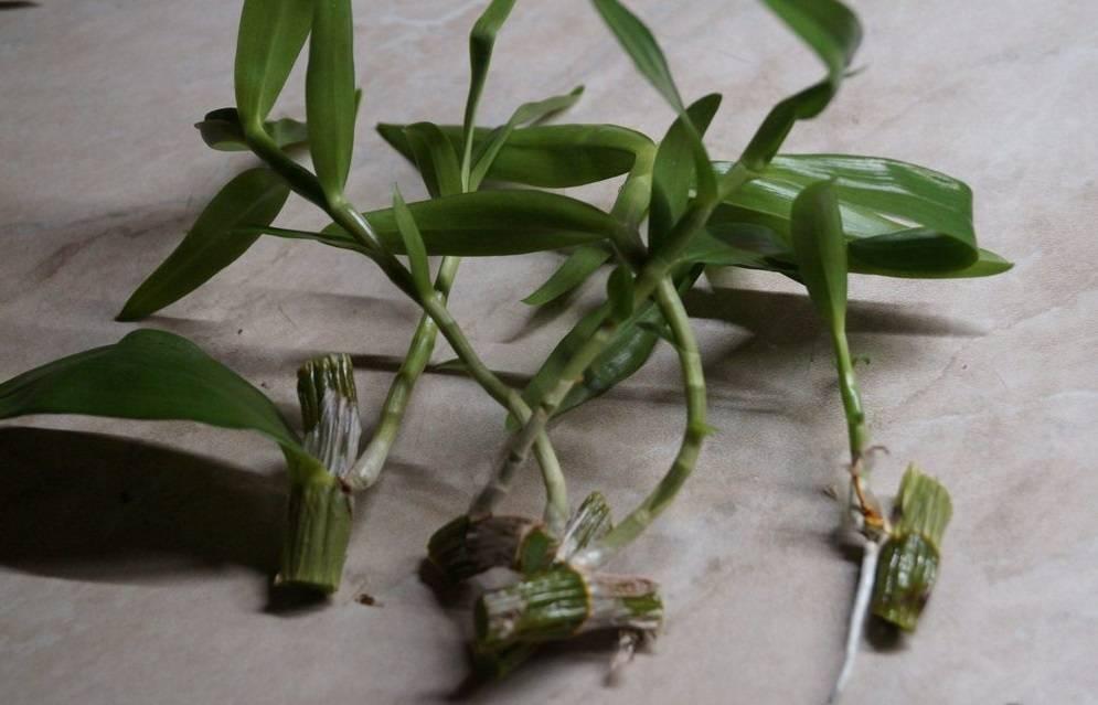 Орхидея дендробиум фаленопсис (23 фото): описание цветка, уход в домашних условиях, способы размножения