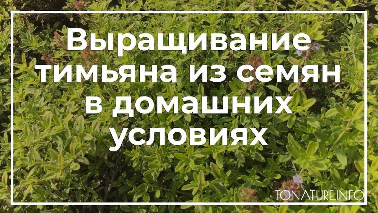 Как вырастить идеальный тимьян на подоконнике – все нюансы выращивания из семян и веточек