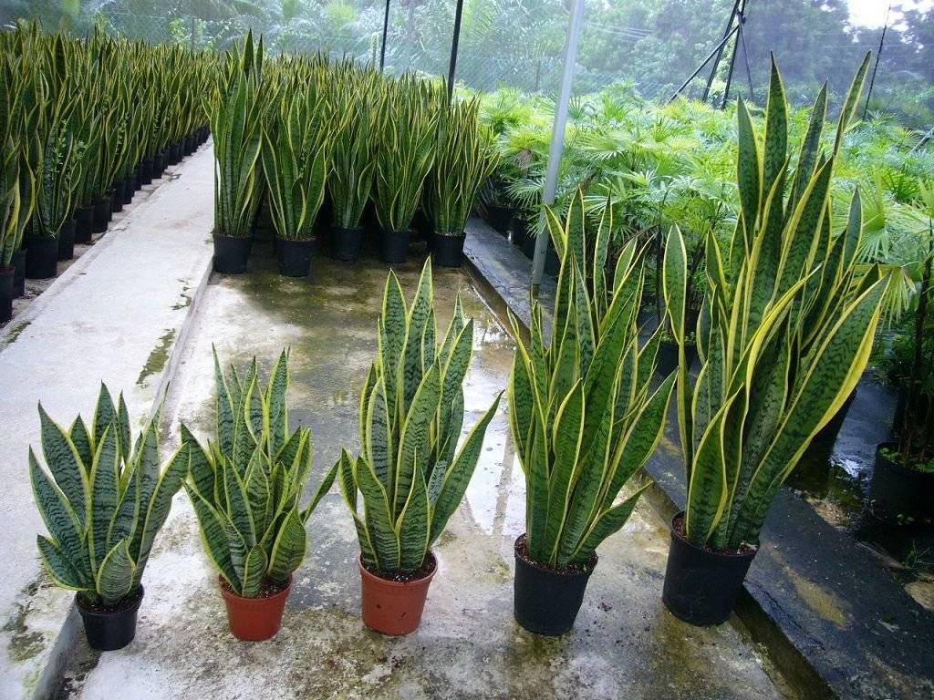 «тёщин язык» или сансевиерия: уход в домашних условиях, создание оптимальных условий для выращивания декоративно — лиственного травянистого растения