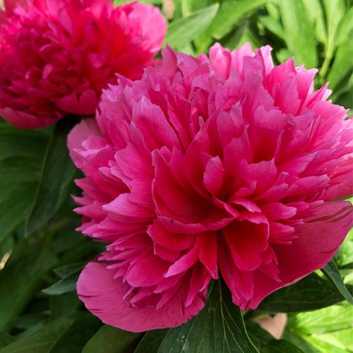 Пион Розеа Плена (Paeonia Rosea Plena) на садовом участке