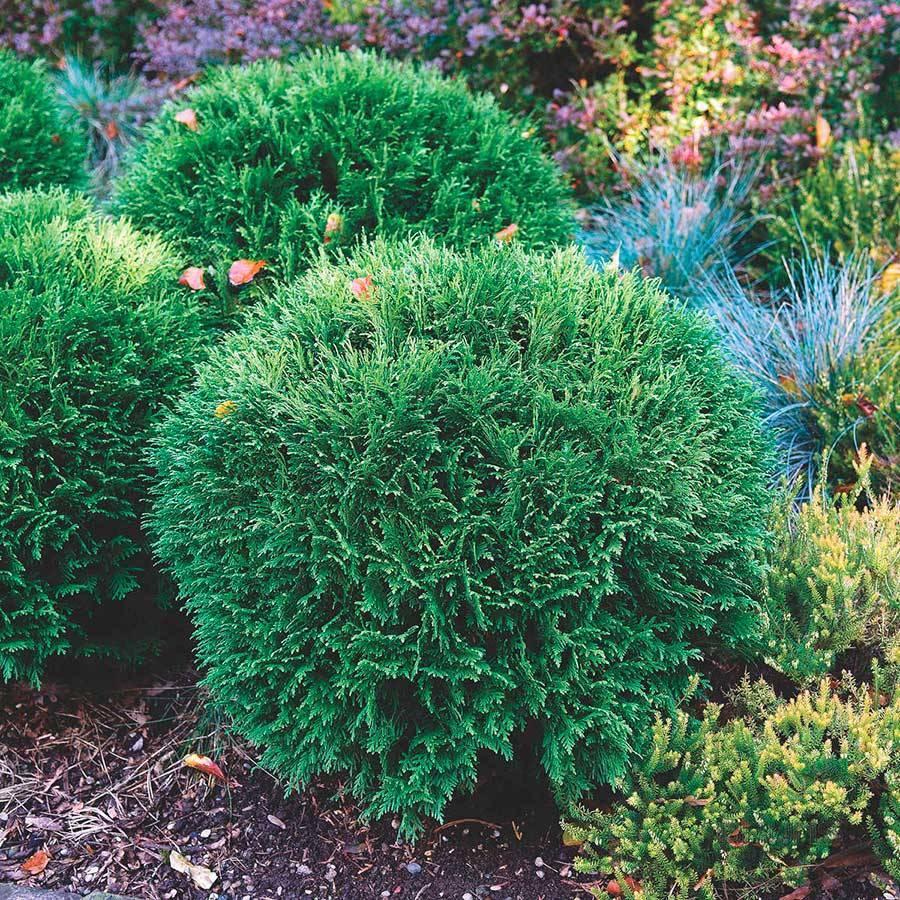 Туя вудварди (woodwardii): описание, уход, фото в ландшафтном дизайне - садовые цветы, растения и кустарники - 2020