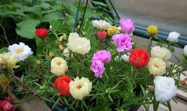 Портулак — цветы садовые, как цветут и как растут