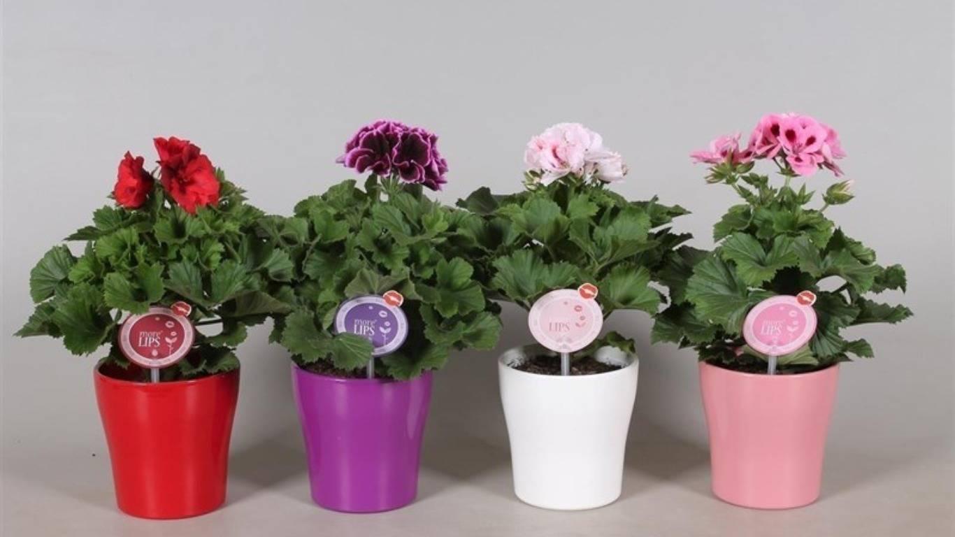 Уход в домашних условиях за пеларгонией: как правильно заботиться  о растении - пошаговая инструкция, понятная даже для начинающих, а также фото цветка