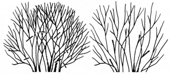 Обрезка чубушника весной