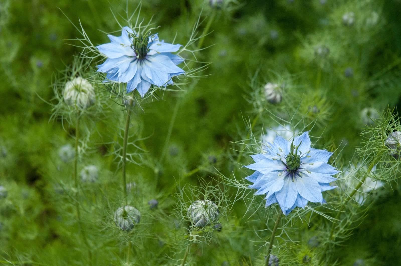 Нигелла: выращивание из семян своими руками - подробная инструкция!