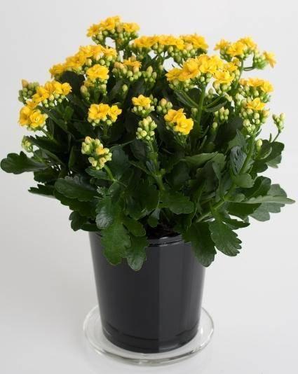 Каланхоэ (52 фото): уход за декоративным цветком в домашних условиях. как выглядит комнатное растение во время цветения?