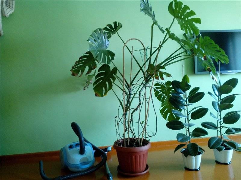Размножение монстеры: как в домашних условиях размножить цветок листом и воздушными корнями? как размножать черенками? как рассадить монстеру?