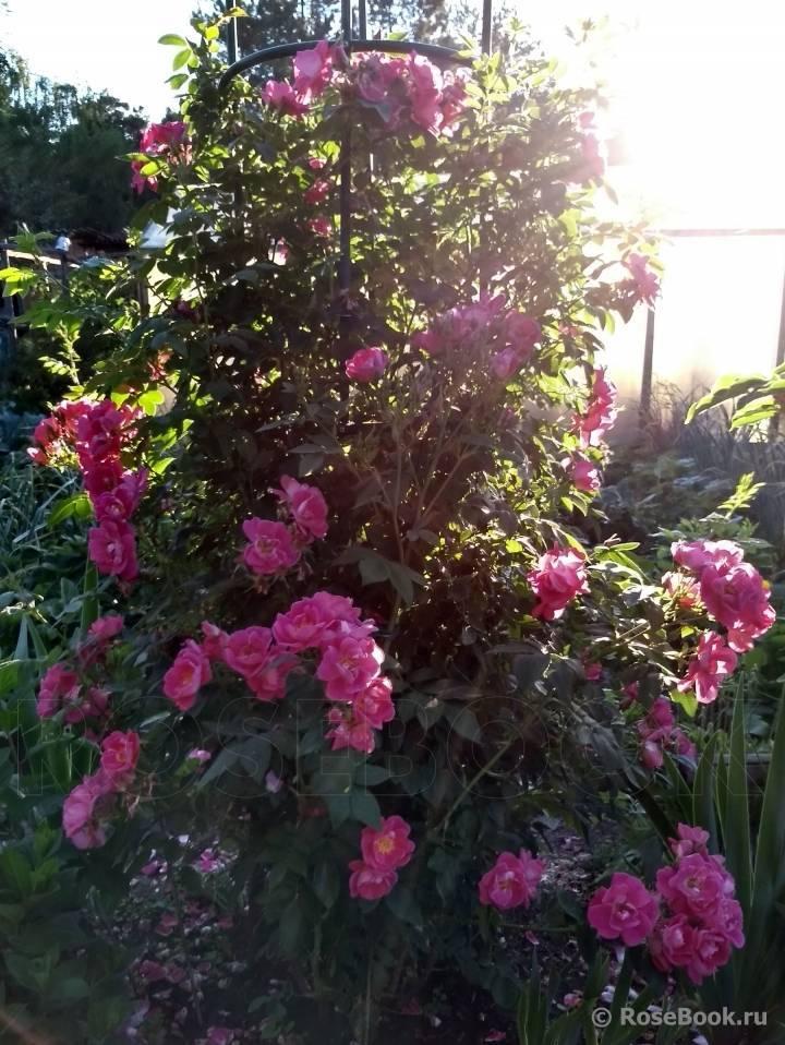 Морозостойкие разновидности канадской розы и уход за ними