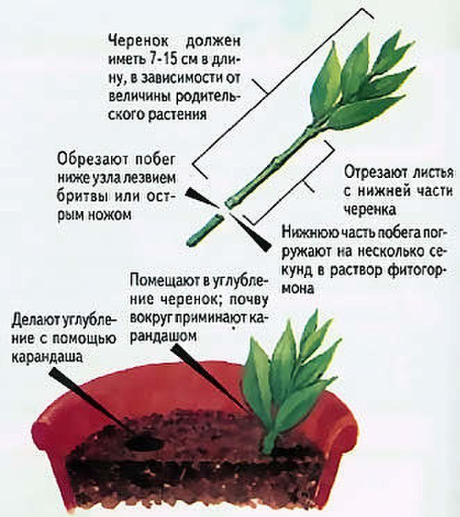 Способы размножения барбариса