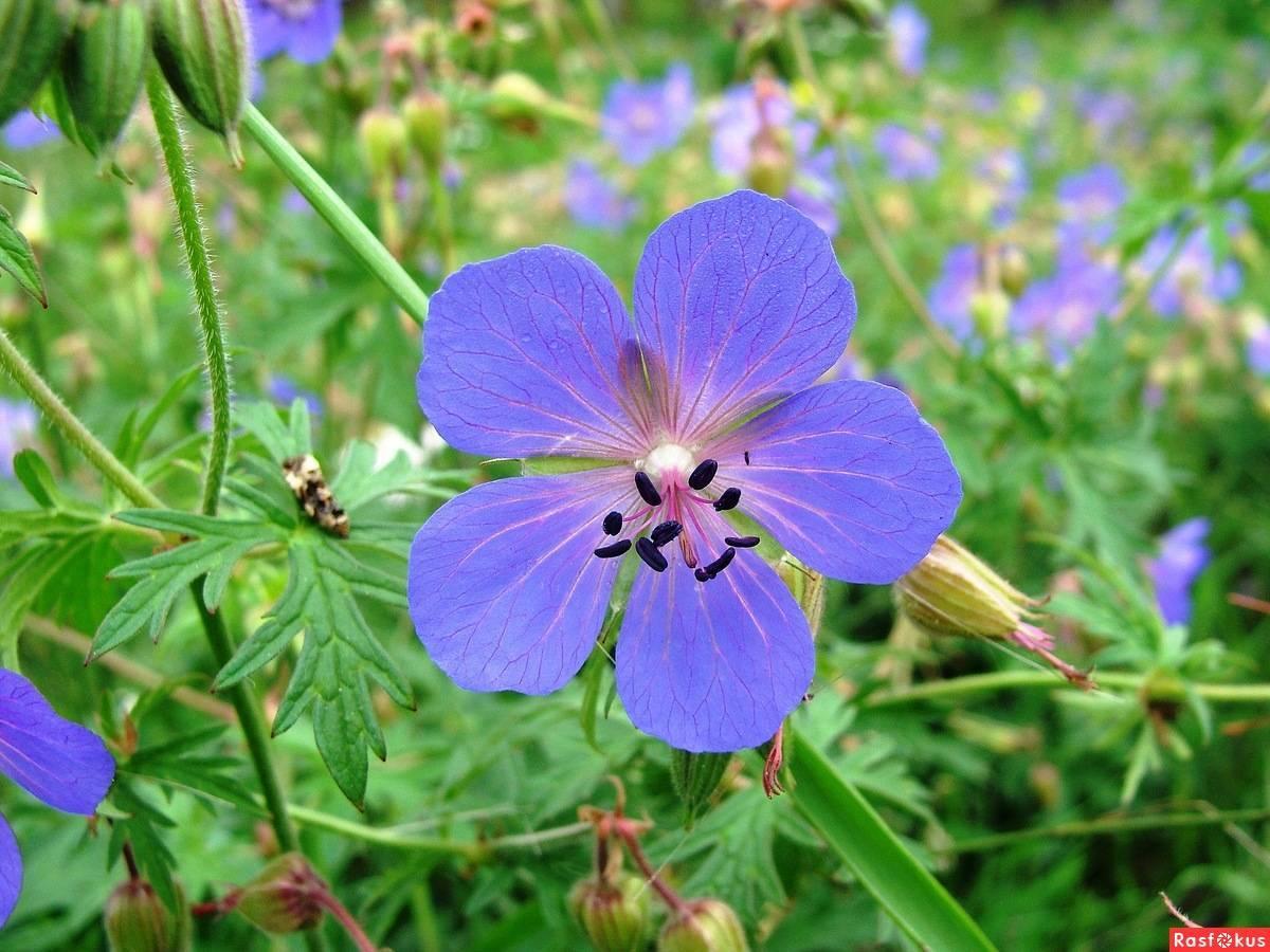 Виды, полезные свойства и противопоказания герани