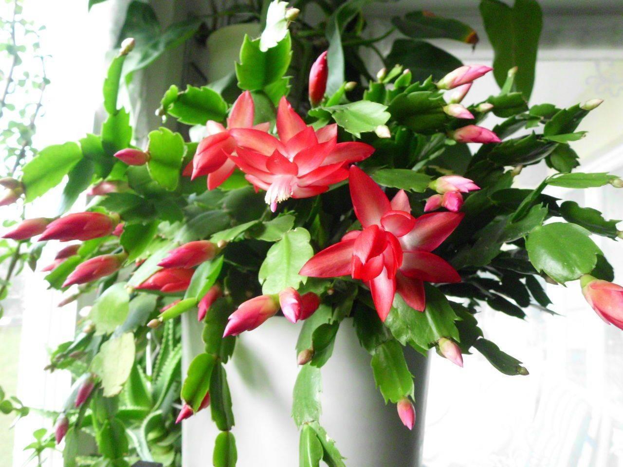 Как обрезать декабрист в домашних условиях: когда можно обламывать веточки, допустимо ли после цветения?