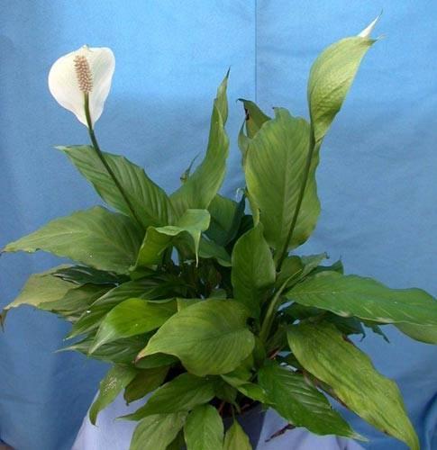 Родина растения спатифиллум: из какой страны родом комнатный цветок спатифиллюм? история происхождения «женского счастья»