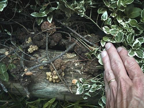 Крылатый бересклет и другие сорта с описанием для живой изгороди