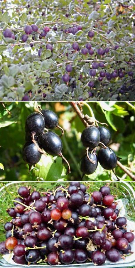 Гибрид смородины и крыжовника йошта: отзывы, описание сорта и характеристики