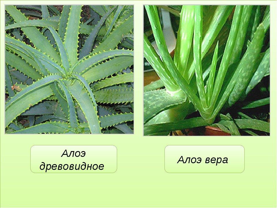 Алоэ вера — что это такое, как выглядит растение алоэ вера