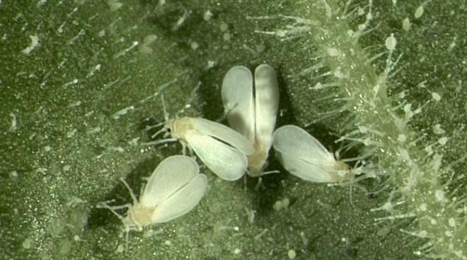 Опасные вредители — белые жучки на орхидеях