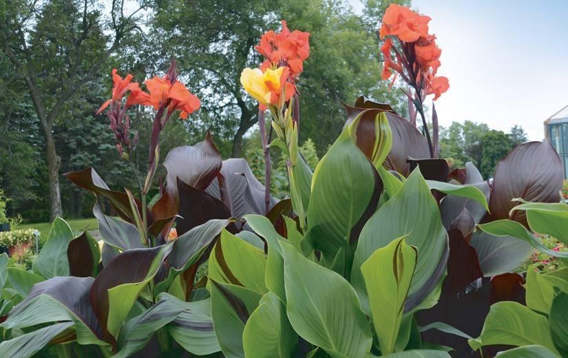 Особенности выращивания канны, правила хранения и ухода