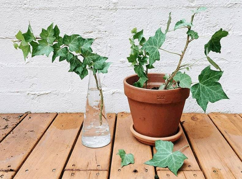 Циссус: уход в домашних условиях, можно ли держать дома, лечебные свойства, размножение и укоренение растения