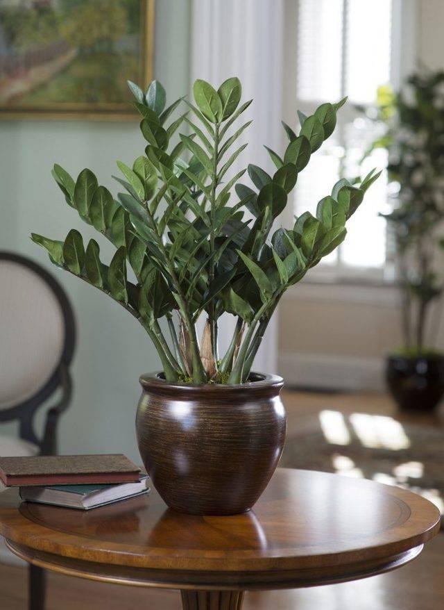 Замиокулькас или долларовое дерево: цветение, уход за цветком после цветения