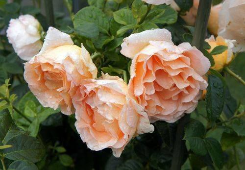 Плетистая роза полька: описание, выращивание, в декоре сада, отзывы розоводов, видео, фото