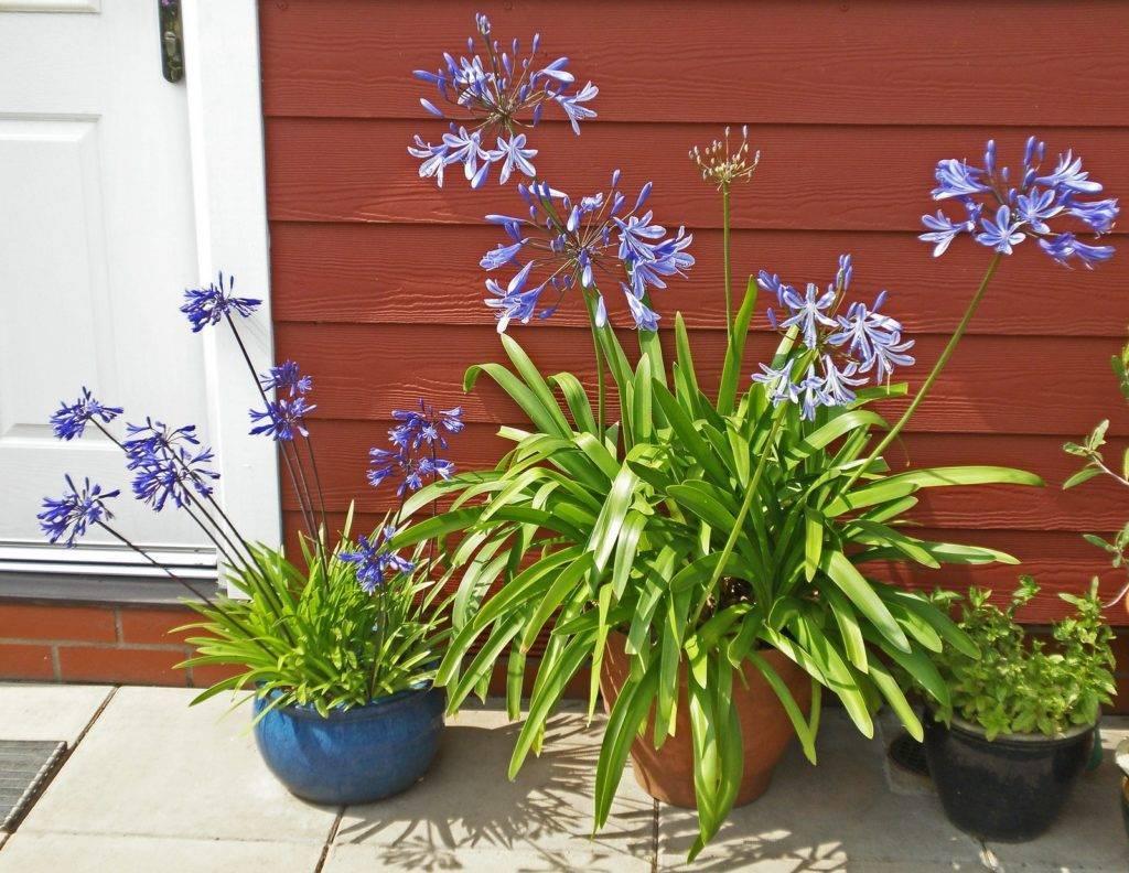 Цветок агапантус: посадка и уход в домашних условиях и открытом грунте